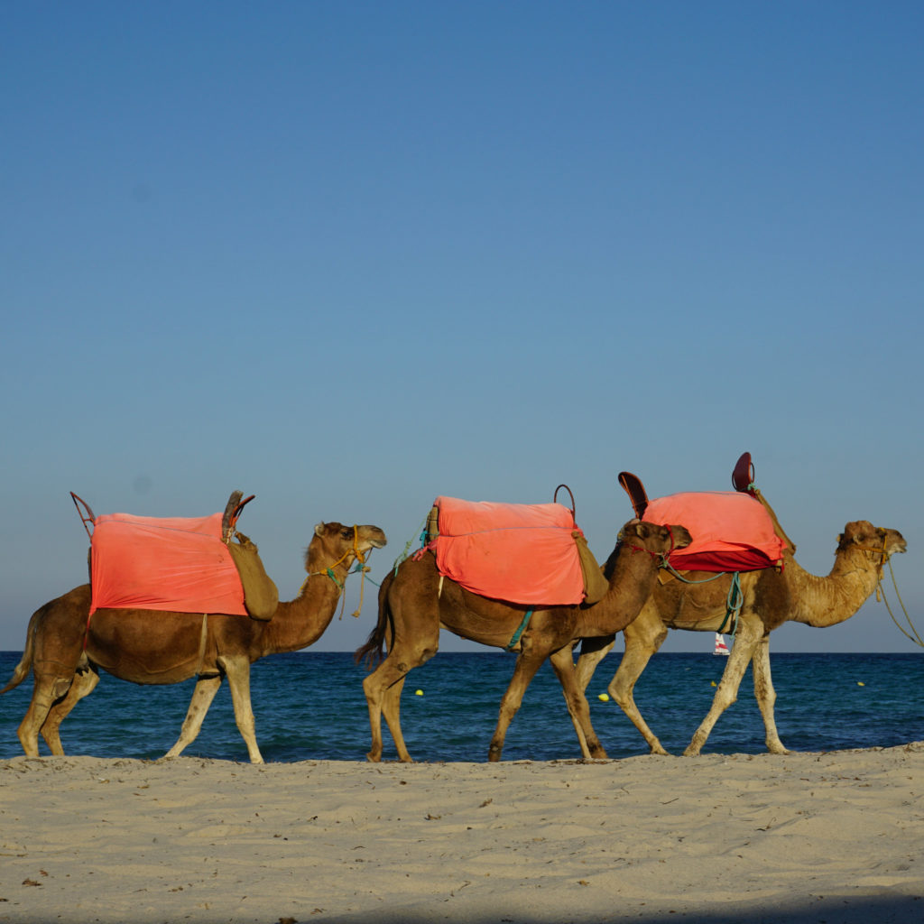 Camels on the beach in Djerba