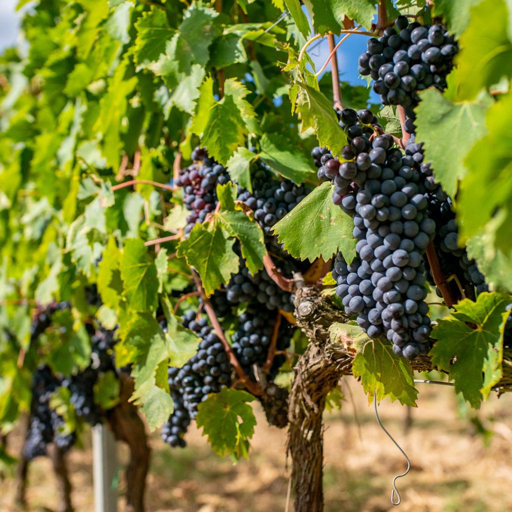wine producer tuscany