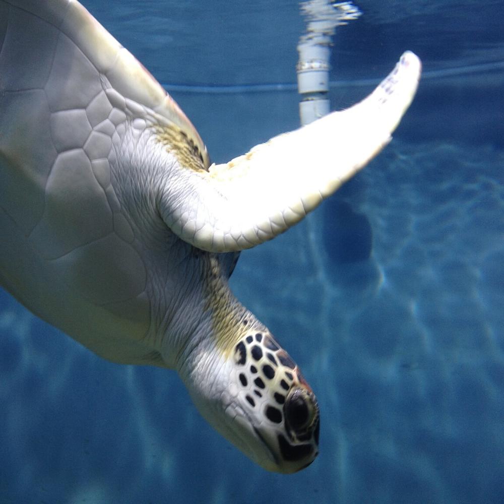 Urlaub Kanaren Fuerteventura Meeresschildkröte Auffangstation