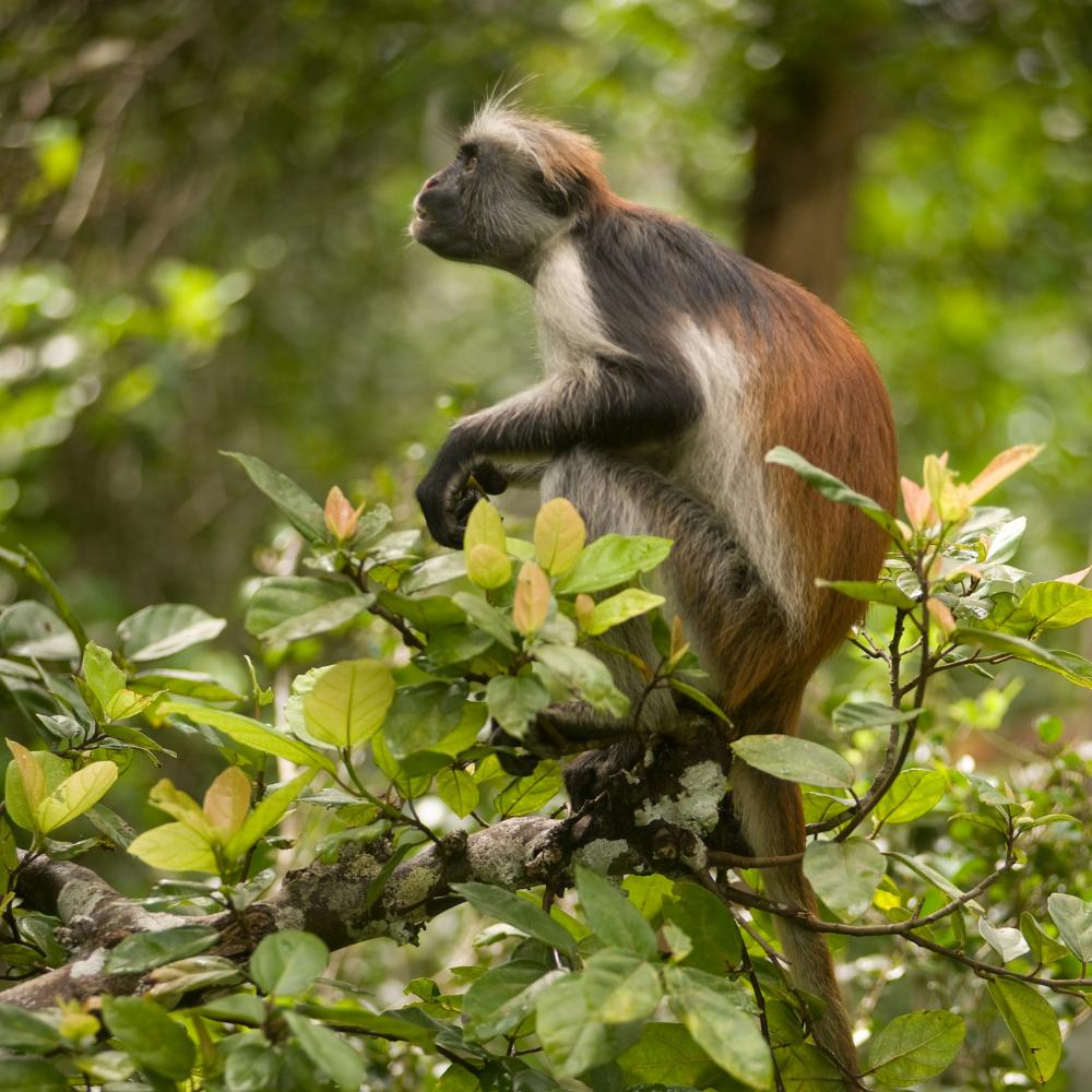 Colobus Affe Sansibar
