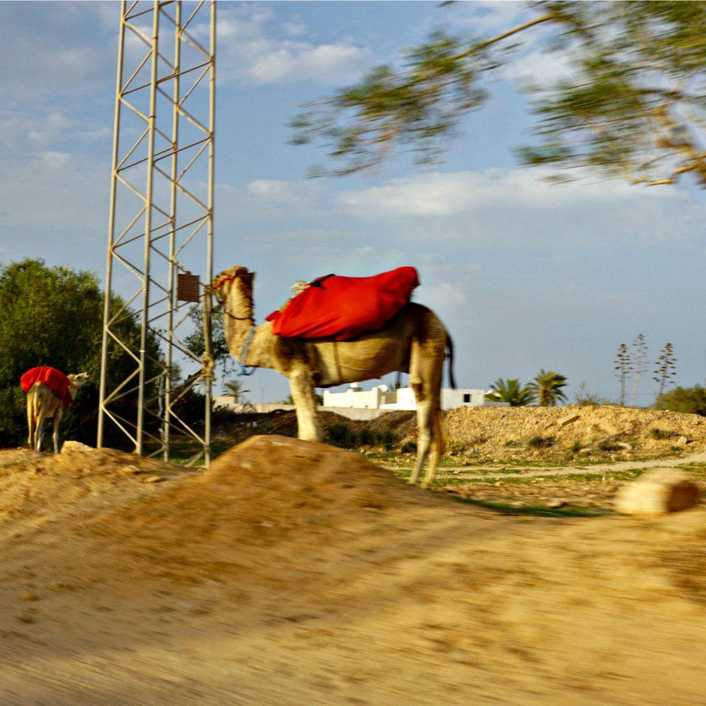 djerba kamele
