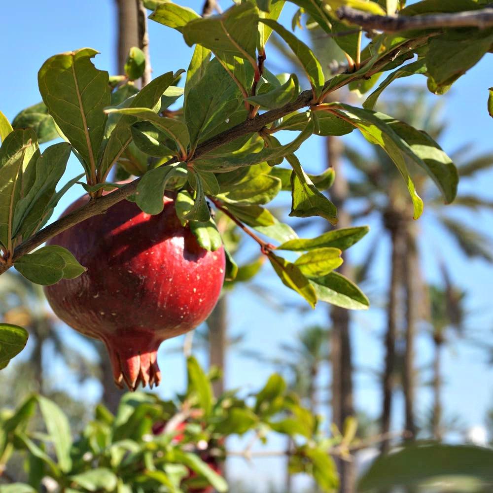 djerba menzel granatapfel