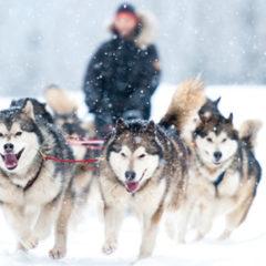 Hundeschlittenfahren: Kalte Schnauze, warmes Herz