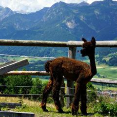 Lamatrekking in der Steiermark: Lama ohne Drama