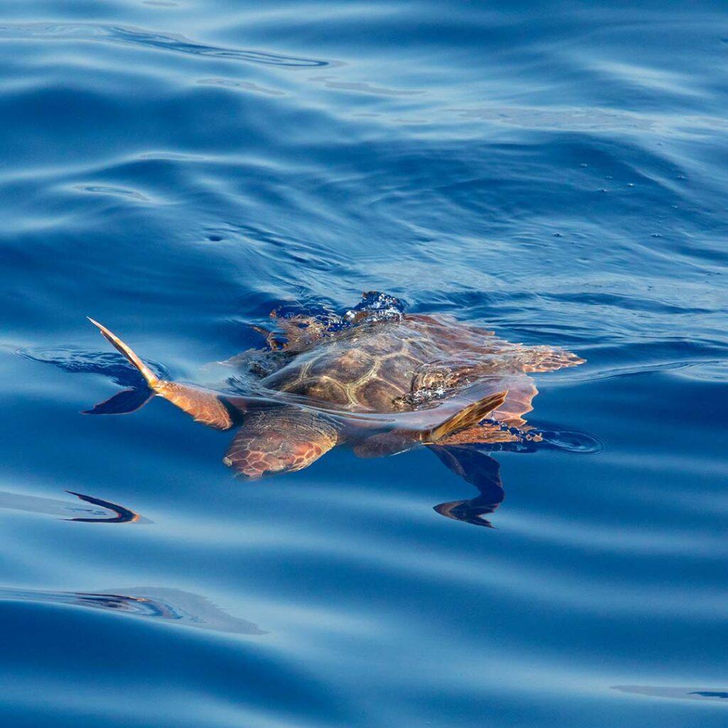 meeresschildkröte im atlantik