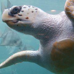 Rettet Sweetie: Schildkröten-Reha an der türkischen Ägäis