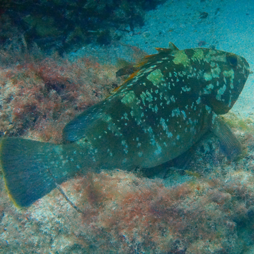 brown grouper diving in Tunisia
