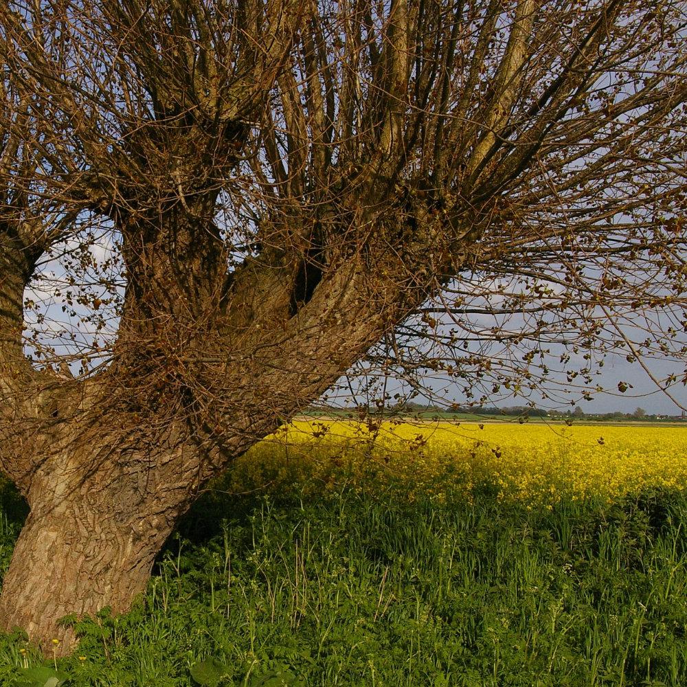 Alter Baum vor Rapsfeld auf den Radtouren