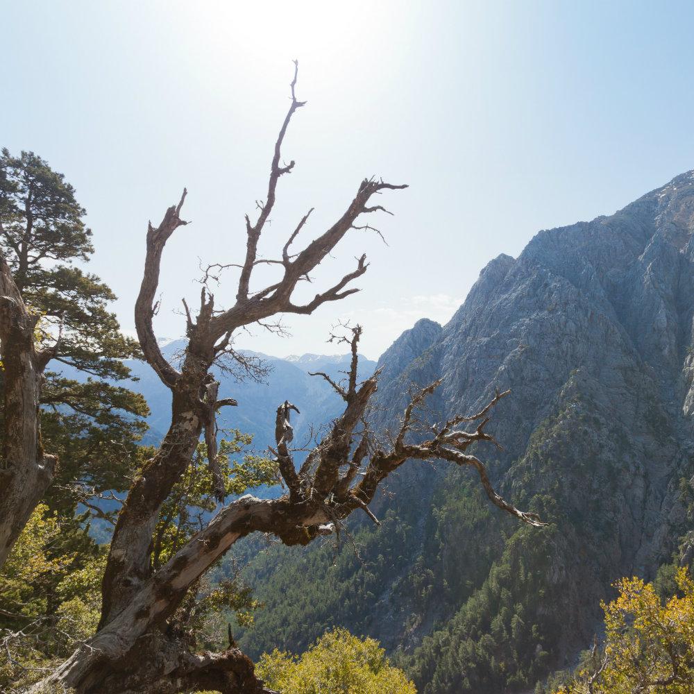 Baum Samaria Schlucht