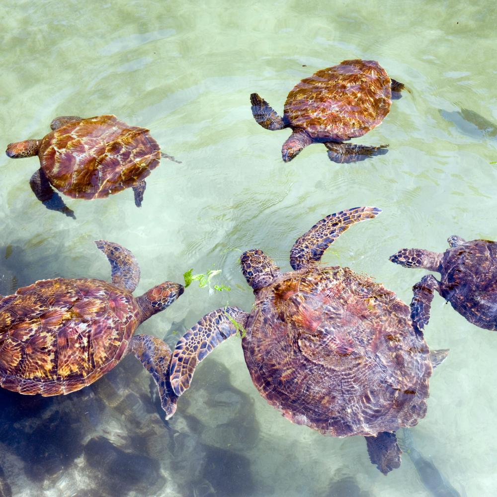Schildkröten urlaub auf Sansibar