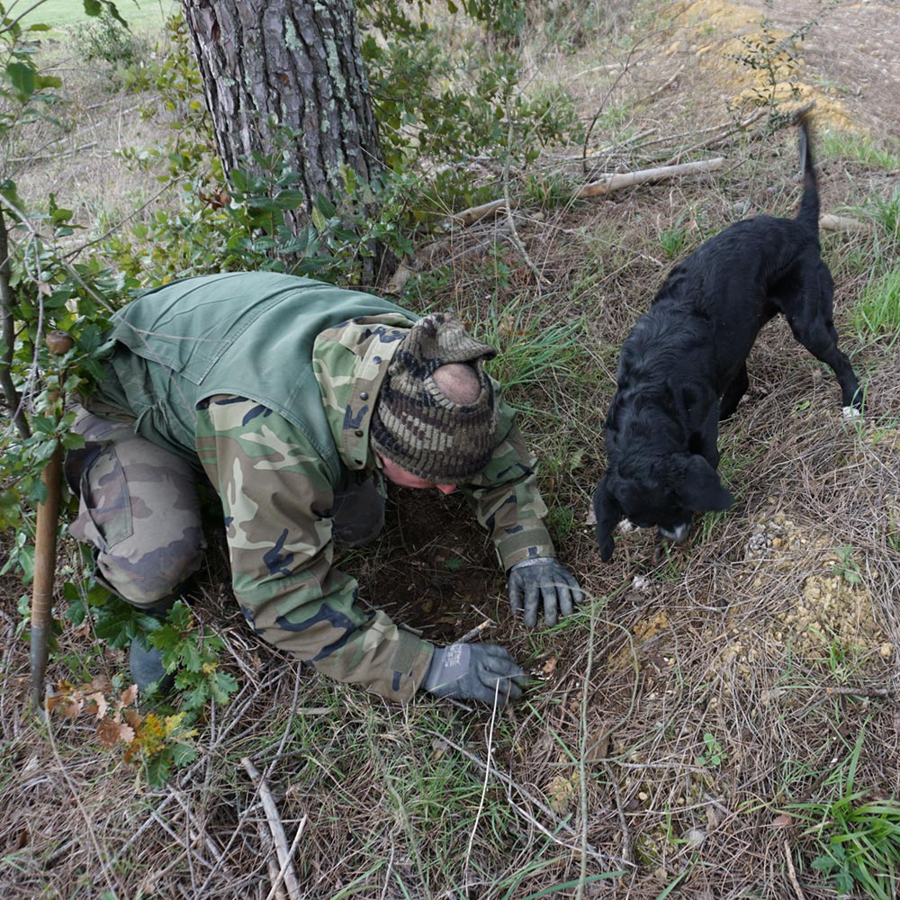 Truffle dog and truffle hunter digging for truffles